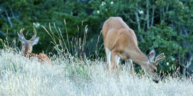 deer copy