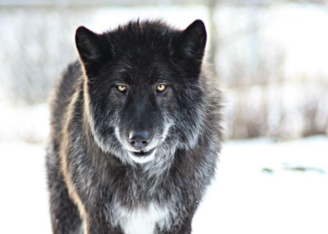 wolf-copy