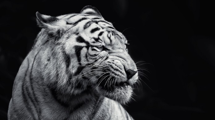 angry-tigers-photos